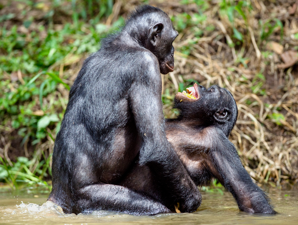 Bonobos making love in a pond
